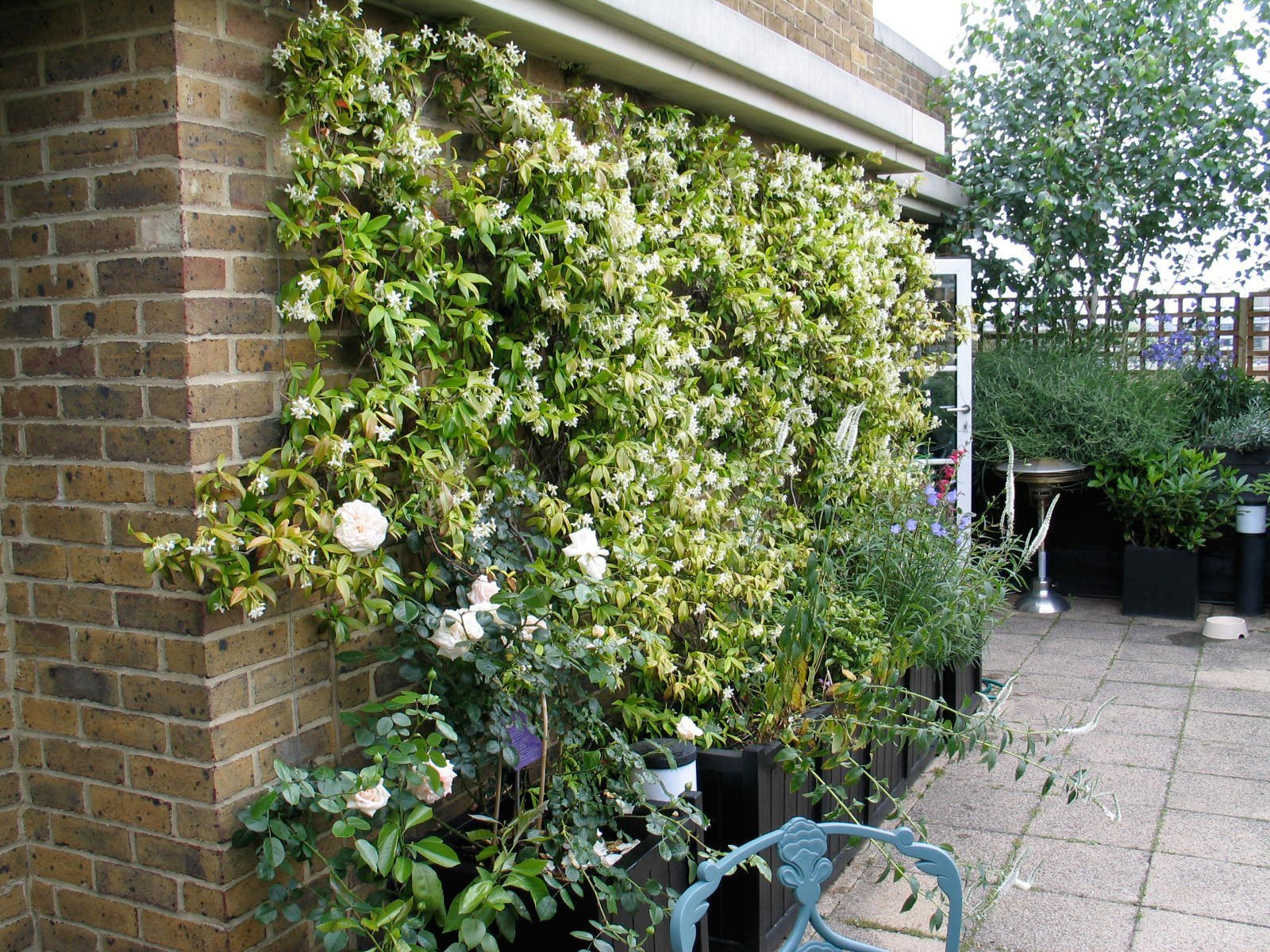 This star jasmine is thriving on the south-facing roof terrace wall. The design incorporates subtle lighting and an automatic watering system.